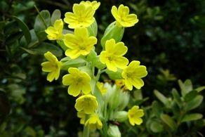 این گیاه شگفت آور بیماریهای تنفسی را درمان میکند