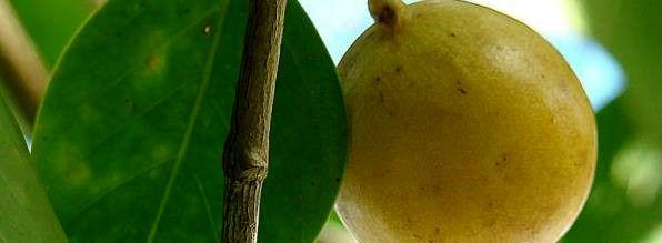 خطرناکترین میوه جهان!+ عکس