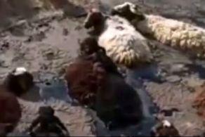 قیر داغ گله گوسفندان به طرز دردناکی بلعید