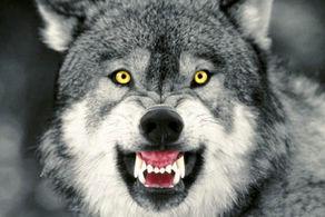 وحشت وجود یک گرگ هار در منطقه نامیله