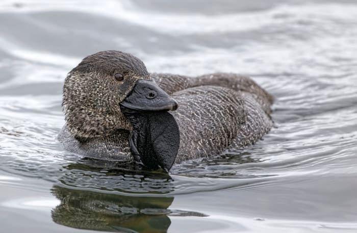 این اردک بی ادب فحش میدهد!+عکس